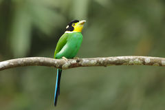 Long tailed broadbill on tree branch Stock Photography