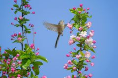 Long-tailed Bushtit. A Long-tailed Bushtit flies in spring. Scientific name: Aegithalos caudatus Royalty Free Stock Photography