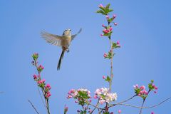 Long-tailed Bushtit. A Long-tailed Bushtit flies in spring. Scientific name: Aegithalos caudatus Royalty Free Stock Photo