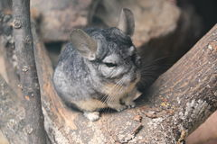Long-tailed chinchilla. On the tree trunk Stock Images