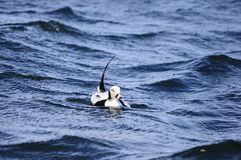 Long tailed duck Royalty Free Stock Photo