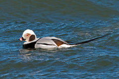 Long-tailed Duck Stock Photography
