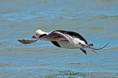Long-tailed Duck Royalty Free Stock Photo
