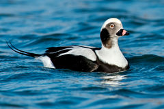 Free Long-tailed Duck Stock Image - 46578441