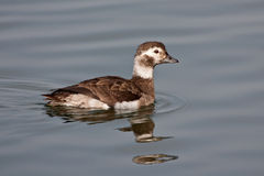 Long-tailed Duck (Clangula hyemalis) Royalty Free Stock Photos