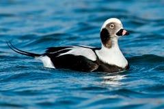 Free Long-tailed Duck - Clangula Hyemalis Stock Image - 46578441