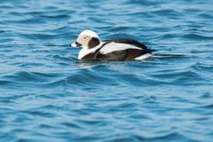 Long-tailed Duck - Clangula hyemalis. Male Long-tailed Duck swimming in the open water. Formerly known as Old Squaw. Tommy Thompson Park, Toronto, Ontario royalty free stock photos