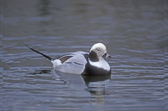 Long-tailed duck, Clangula hyemalis Stock Photo