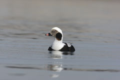Long-tailed duck, Clangula hyemalis Stock Photo