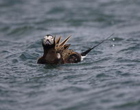 Long tailed Duck Royalty Free Stock Photography