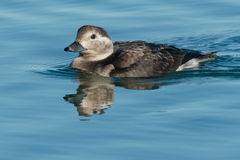Long-tailed Duck royalty free stock image