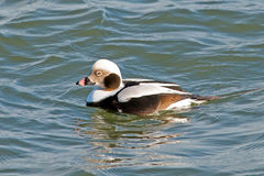Long-tailed Duck Stock Image