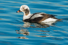 Long-tailed Duck royalty free stock photography