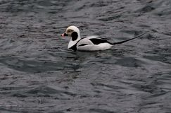 LONG TAILED DUCK stock photo