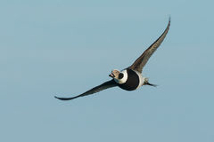 Long-tailed Duck Stock Photo