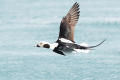 Long-tailed Duck. Male Long-tailed Duck flying low over the ice Royalty Free Stock Photos