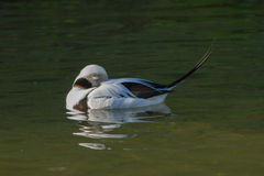 Long Tailed Duck Stock Images