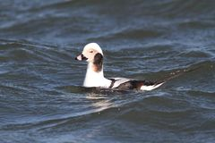 Long-tailed Duck & x28;Oldsquaw& x29; stock image
