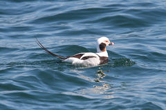 Long-tailed Duck (Oldsquaw) stock image