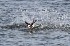 Long-tailed Duck Oldsquaw stock photos