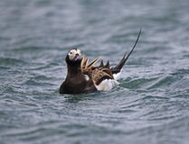 Long tailed Duck (Oldsquaw) Stock Photo