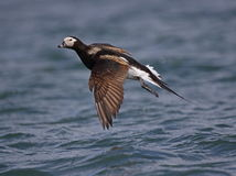 Long tailed Duck (Oldsquaw) Royalty Free Stock Images