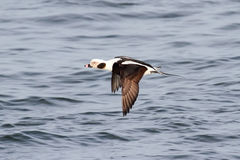 Long-tailed Duck (Oldsquaw) In flight