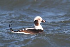 Long-tailed Duck (Oldsquaw) Swimming stock photos