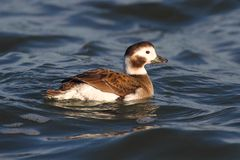 Long-tailed Duck (Oldsquaw) Swimming stock image
