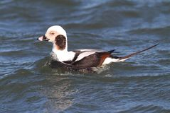 Long-tailed Duck (Oldsquaw) Swimming Royalty Free Stock Photography
