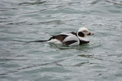 Long Tailed Duck Swimming on Lake Erie royalty free stock photography