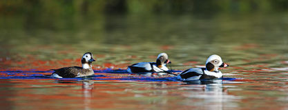 Long-tailed ducks and magic reflections on water. Three Long-tailed ducks (Clangula hyemalis) swim in cold waters of Norway. In the water magic reflections of Stock Images
