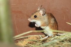 Long-tailed field mouse royalty free stock photos