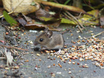 Long Tailed Field Mouse (Wood mouse) Stock Photos