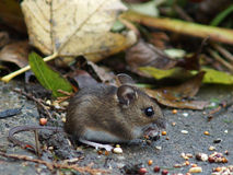 Long Tailed Field Mouse (Wood mouse) Royalty Free Stock Image