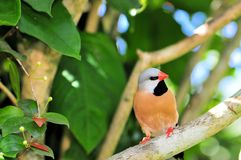 Long-tailed finch Royalty Free Stock Photos