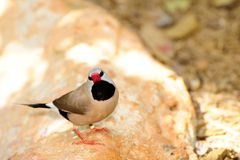 Long-tailed Finch Bird Royalty Free Stock Images