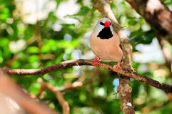 Long-tailed finch bird Royalty Free Stock Image