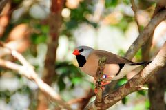 Long-tailed finch bird Royalty Free Stock Photography