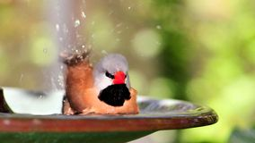 Long-tailed Finch bird bathing in birdbath, Florida Stock Photos