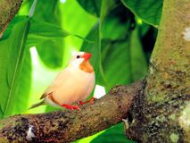 Long-tailed finch bird Stock Images