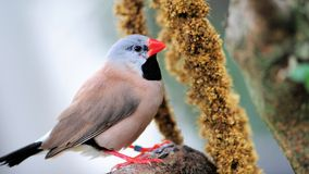 Long-tailed finch bird eating stock photography
