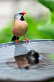 Long-tailed finch on birdbath Stock Image