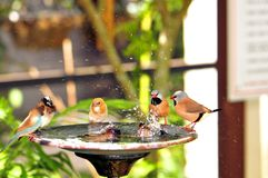 Long-tailed Finch birds in birdbath, Florida Stock Photo