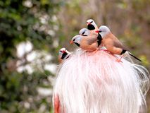 Long-tailed finch birds picking-up older man hair Royalty Free Stock Photography