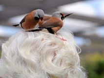 Long-tailed finch birds picking-up older woman hair Royalty Free Stock Photography