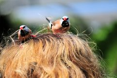 Long-tailed finch birds picking-up woman hair Stock Image