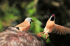 Long-tailed finch birds standing on man head Stock Photo