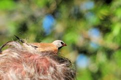 Long-tailed finch in man hair Royalty Free Stock Photo