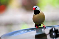 Long-tailed finch perched on birdbath Royalty Free Stock Photo